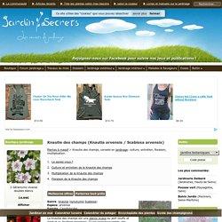 Knautie des champs (Knautia arvensis / Scabiosa arvensis) : culture, entretien, semis