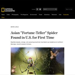 "Asian ""Fortune-Teller"" Spider Found in U.S. for First Time"