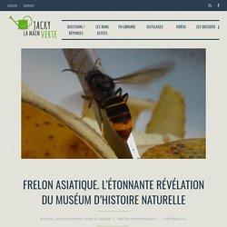 Frelon asiatique. L'étonnante révélation du Muséum d'Histoire Naturelle - Jacky La Main Verte