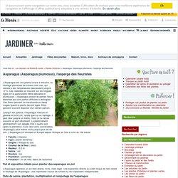 Asparagus (Asparagus plumosus) : rempotage, entretien et arrosage