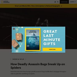 Giraffe Assassin Bugs Catch Spiders by Dampening Web Vibrations
