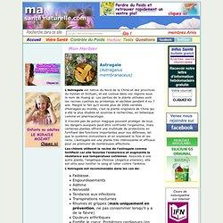 L'Astragale (Astragalus membranaceus), parfaite pour affronter l'hiver