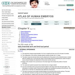 Atlas of Human Embryos [by: RF Gasser, PhD.] - Ch.5