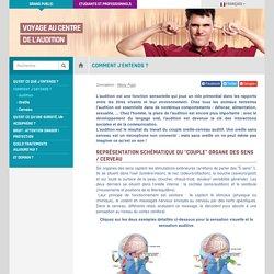 Audition, oreille, cerveau auditif