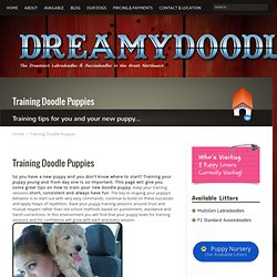 Training Doodle Puppies- Aussiedoodle and Labradoodle Puppies