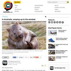 In Australia, cosying up to the wombat