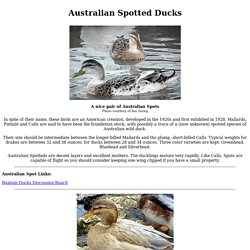 Australian Spotted Ducks