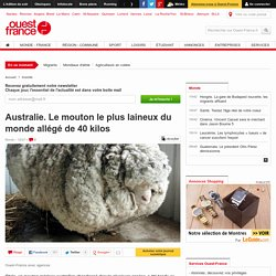 Australie. Le mouton le plus laineux du monde allégé de 40 kilos