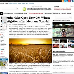 US Authorities Open New GM Wheat Investigation after Montana Scandal