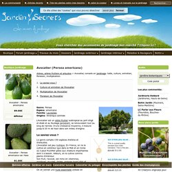 Avocatier (Persea americana) : taille, bouturage, entretien