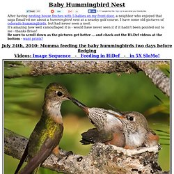 Baby Hummingbird Nest - COOL!