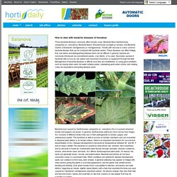 HORTI DAILY 17/07/14 How to deal with bacterial diseases of tomatoes