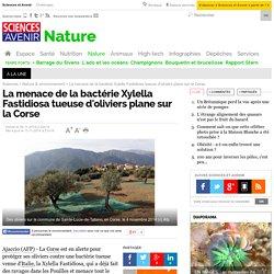 SCIENCES ET AVENIR 08/11/14 La menace de la bactérie Xylella Fastidiosa tueuse d'oliviers plane sur la Corse