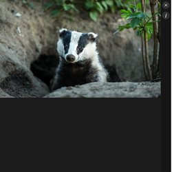 THE GUARDIAN 04/03/18 Badger cull faces review as bovine TB goes on rising