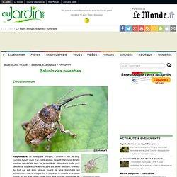Balanin des noisettes, Curculio nucum