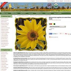Balsamorhiza sagittata (Arrowleaf Balsamroot) Wildflower Seed