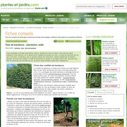 Haie de bambous : plantation, taille