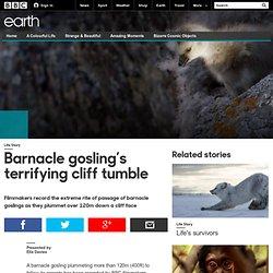 Earth - Barnacle gosling's terrifying cliff tumble