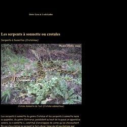 serpents à sonnette, crotales, Sistrurus miliarius, Crotalus basiliscus, Crotalus atrox, Crotalus vegrandis, Crotalus adamanteus, Crotalus viridis, Reptiles-Show. eu ....en Français, ....in Deutsch, ....in Espagnol, ....in English