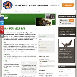 Basic Facts About Bats