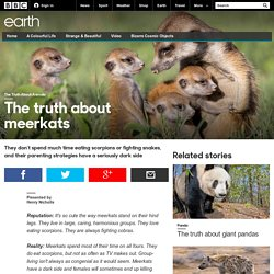 Earth - The truth about meerkats