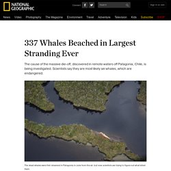 337 Whales Beached in Largest Stranding Ever
