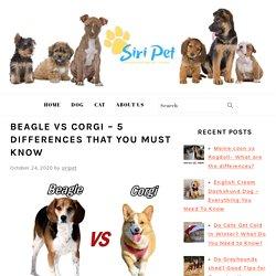 Beagle vs corgi – 5 differences that you must know - Siri Pet