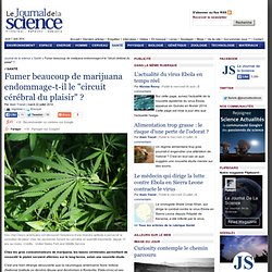 """Fumer beaucoup de marijuana endommage-t-il le """"circuit cérébral du plaisir"""""""