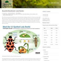 Beautiful Beneficials: Lady Beetles