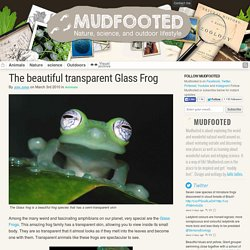 Glass frogs, the beautiful transparent frogs from the amazon