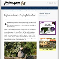 Beginners Guide to Keeping Guinea Fowl