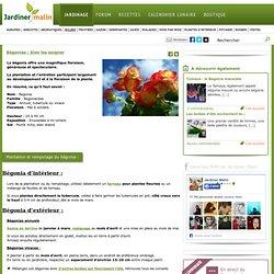 Begonia : plantation et entretien