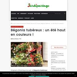Bégonia tubéreux: Planter, entretien, hiver