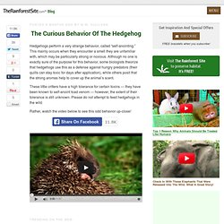 The Curious Behavior of the Hedgehog