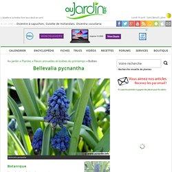 Bellevalia pycnantha