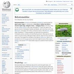 Belostomatidae