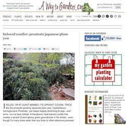 beloved conifer: prostrate japanese plum yew