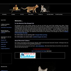 Bengal Cats For Sale Bengal Cat Breeder Breeders Snow Bengal Cats For Sale