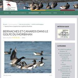 Bernaches et canards dans le golfe du Morbihan