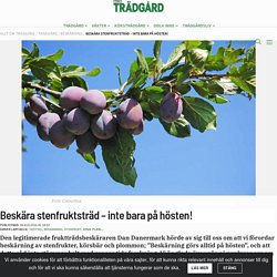 Beskära stenfruktsträd – inte bara på hösten!