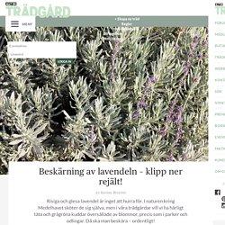 Beskärning av lavendeln – klipp ner rejält! – Allt om Trädgård