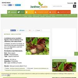 Betterave : semis, culture et récolte des betteraves