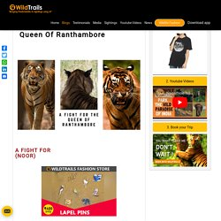 Clash Between Tigers (Brothers) For The Queen Of Ranthambore