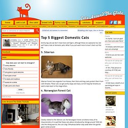 Top 5 Biggest Domestic Cats