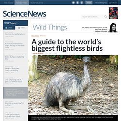 A guide to the world's biggest flightless birds