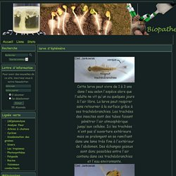 Biopathe - larve d'éphémère