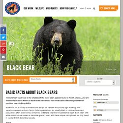 Basic Facts About Black Bears