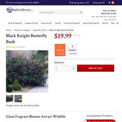Black Knight Butterfly Bushes for Sale