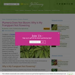Non Blooming Frangipani - What To Do When Fragipani Will Not Flower
