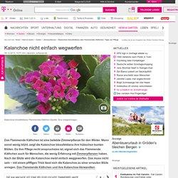 Kalanchoe blossfeldiana oder Flammendes Käthchen: Tipps zur Pflege